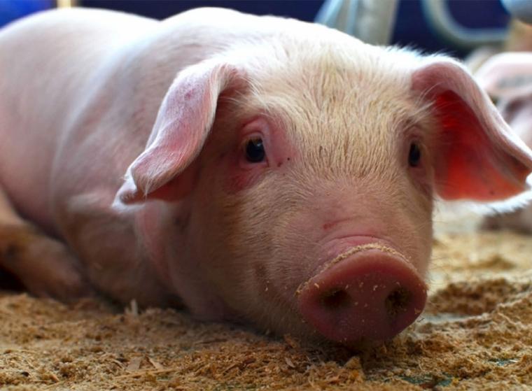 Detectan fiebre porcina africana en Cotuí y Montecristi